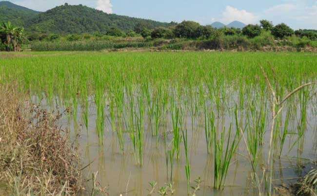 关于水稻种植生长后期的管理方法图片