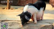 母猪的繁殖率如何提高,提高母猪的繁殖率的方法