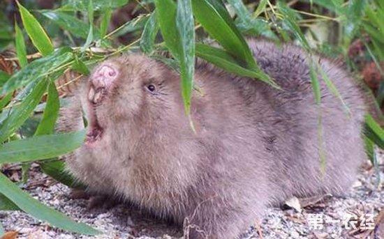 首页 养殖频道 养殖技术 > 正文   图: 竹鼠     竹鼠是非常可爱的