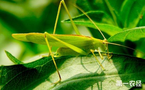 图:蚂蚱   蝗虫是我国农业生产上的重要害虫之一,对农业生产影响最大,且为害最严重的还是飞蝗类。蝗虫扫荡之处,禾本科植物被吃光,凡是它咬得动的东西几乎无一幸免,成群的蝗虫可使绿地变成荒原。蝗虫的天敌是什么?   蝗虫在自然界中天敌有蛙和鸟两大类,尤其是蛙类,与蝗虫生活在同一类型的生态环境中,是蝗虫最主要的天敌,除此之外蜥蜴、蜘蛛、螳螂等动物也捕杀蝗虫。   【小编总结】   蝗虫的种类丰富,在全世界各地均有分布,是植食性昆虫,是一种农业害虫,尤其是成群的飞蝗,所到之处变成荒原。很多人好奇蝗虫和蚂蚱的区别