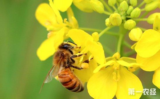 蜜蜂采蜜的过程