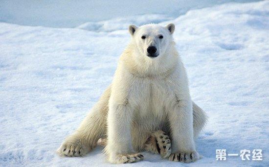 北极熊不吃兔子?企鹅彩色笔图片