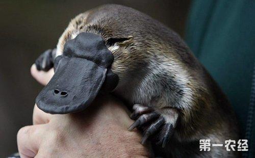 鸭嘴兽是一种保留了爬行动物特征的哺乳动物,那鸭嘴兽是胎生还是卵生?