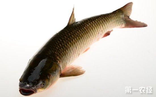 常见的淡水鱼有哪些品种?