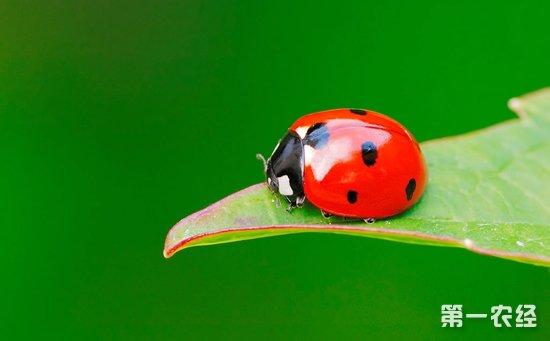 七星瓢虫吃什么食物?图片