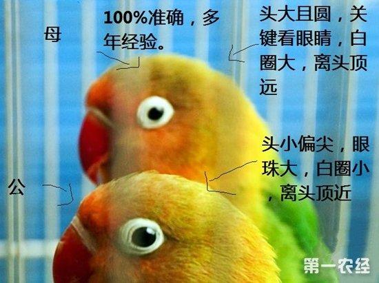 牡丹鹦鹉怎么分公母?牡丹鹦鹉公母分辨图