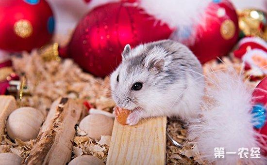 教程一天吃背景?仓鼠吃?关于仓鼠的视频兔子东西图片