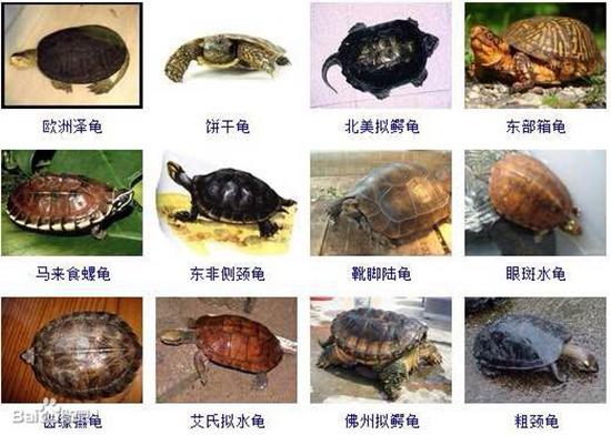养殖频道 养殖技术 > 正文      【常见问题】全球乌龟种类有多少种?