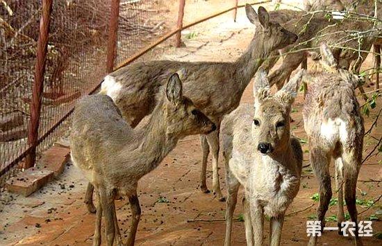 狍属国家保护动物在有的省区属地方保护动物,各地情况不同,如规模饲养