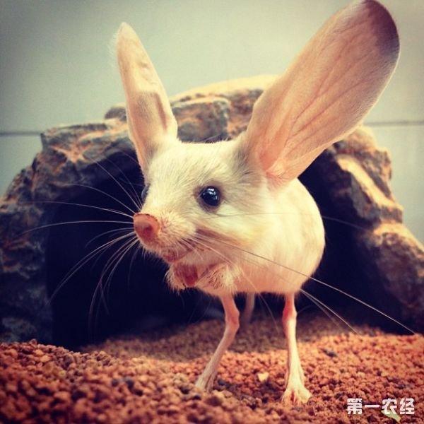 绿霸王角蛙你听过吗? 【常见问题】可以为我们对绿霸王角蛙介绍一下吗? 【专家解答】长耳跳鼠是一种外形奇特的啮齿类动物,非常稀少罕见,它的耳朵完全不成比例,耳朵竟比头部大,长着类似袋鼠一样的后腿,可以向空中跃起1米多高,它的足部多毛,看上去就像微型雪鞋,长得长长的尾巴,还有它的鼻子长得像猪鼻。   目前,英国动物学研究人员第一次拍摄到它的踪迹,并对这展示全面的分析研究。   长耳跳鼠形态比较特殊,可独自构成一亚科。 与其它跳鼠相比,长耳跳鼠吻尖,眼小而耳朵极大,几乎有头长的一半,是耳朵比例最大的动物。双腿