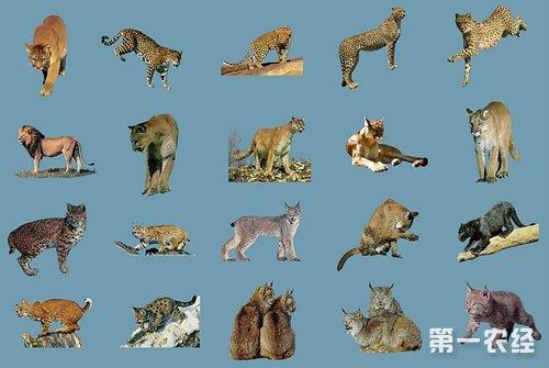 猫科动物分类