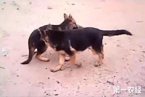 野生藏獒和狼打架_狼王与藏獒打架视频