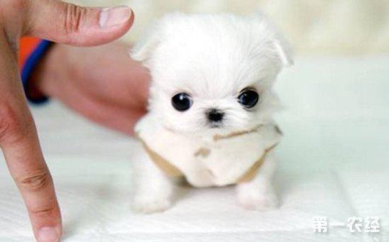 可爱茶杯犬简笔画