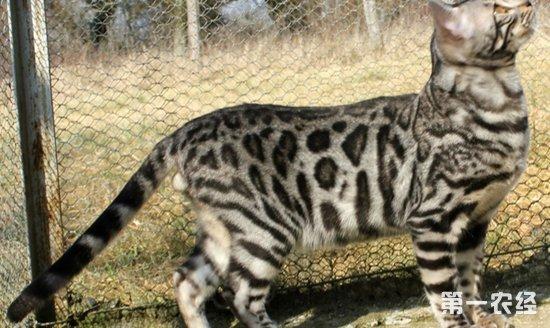 豹猫图片是保护动物