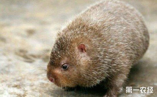 野生竹鼠是保护动物吗?-养殖技术