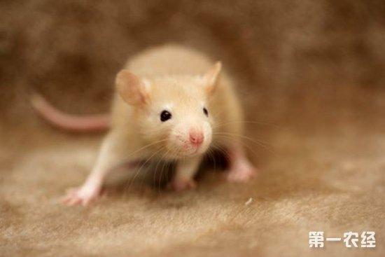 花枝鼠养殖:花枝鼠吃什么?