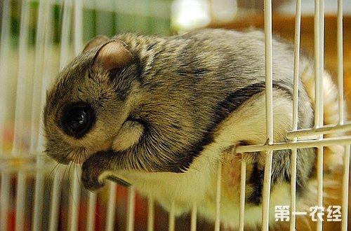 首页 养殖频道 养殖技术 > 正文   图:可爱的日本飞鼠   【常见问题】