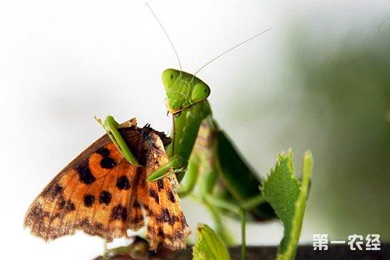 之类的地面虫子,很容易被感染生病,最好用纱笼,纸盒也可,但要扎很多小洞,利于通风,笼内要有可供螳螂抓握的环境,可模仿自然环境支架一些树枝,草枝,供螳螂休息,和蜕皮,还有就是要注意遮阳,阳光很强时不要暴晒,,也不要总是放在光线很暗的地方,那样螳螂的视力会下降。   营养充足的情况下螳螂会7天蜕一次皮,,(我每次都会记录,很准的)临蜕皮时的前一两天螳螂会不再扑食,颜色会变浅,须注意观察,这时就不要在投喂食物,免得惊扰螳螂,把它放在安静光线暗的地方,蜕皮一般在半夜到凌晨,蜕皮后第一天不要喂食,也不要惊扰他,这个