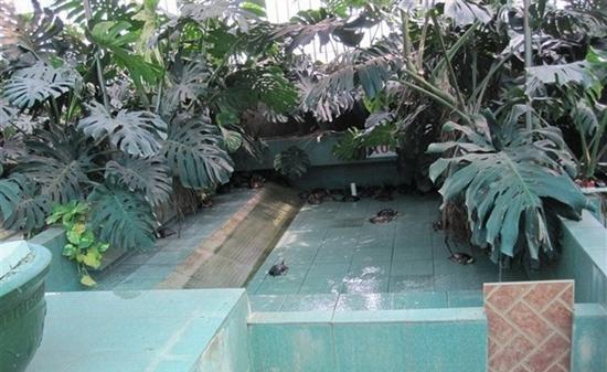 龜背竹成為龜池設計中最受歡迎的植物