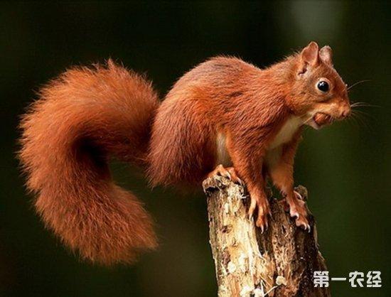 松鼠的尾巴有什么作用?