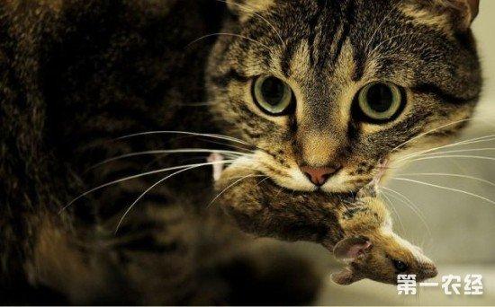 自己给猫咪做鱼之类的食物不是不可,只是营养不够.