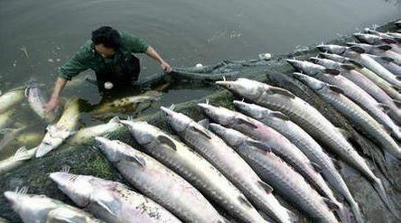 鲟鱼养殖市场+