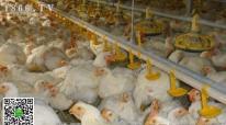 肉鸡猝死综合征临床症状,肉鸡猝死综合征治疗方案