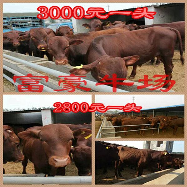 最便宜的牛_全国哪里的牛最便宜