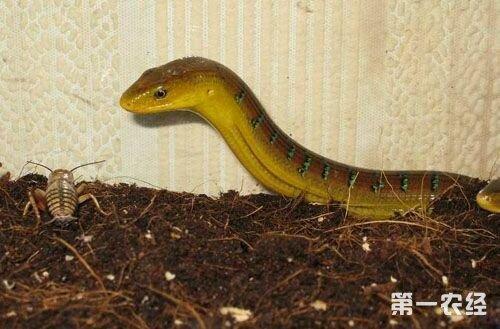 壁纸 动物 两栖 蛇 娃娃鱼 蜥 蜥蜴 蝾螈 鲵 500_329