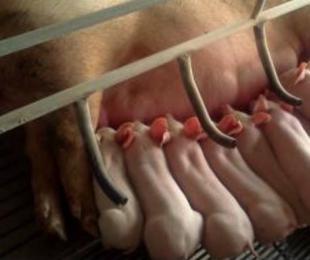 猪场产房的卫生管理