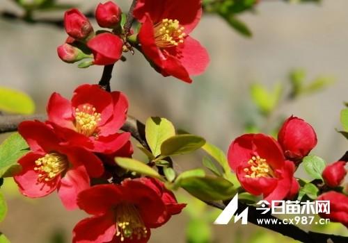 海棠花种类大全及品种图片