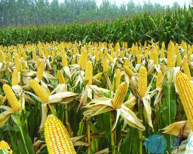 玉米标价下调 饲料企业当着春天天