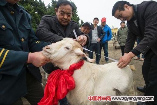 江苏省海安县大公镇山羊在进行