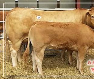 陇南养牛厂哪里有-养殖巴巴网