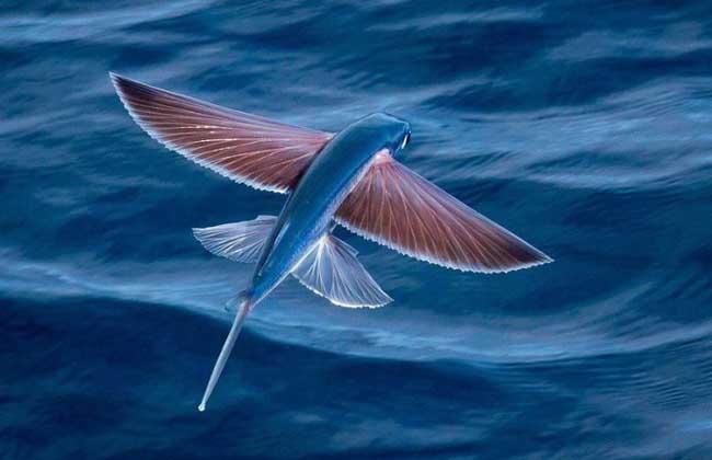 科约40种海洋鱼类的统称,长相奇特,胸鳍特别发达,像鸟类的翅膀一样,以