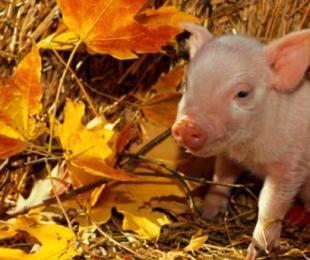 猪病诊疗:如何区分副猪嗜血杆菌病和链球菌病