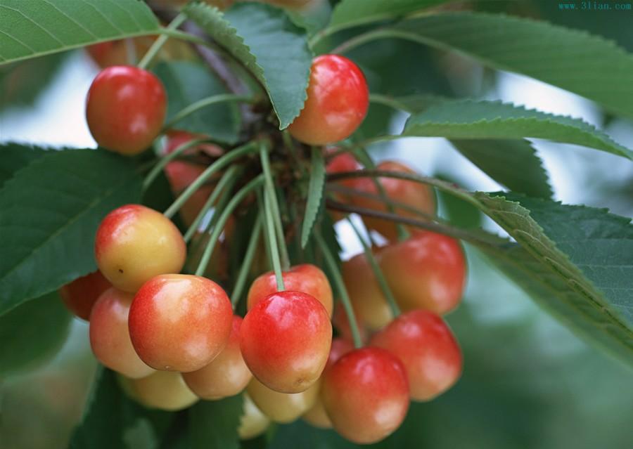樱桃树 樱桃图片 -植物图片