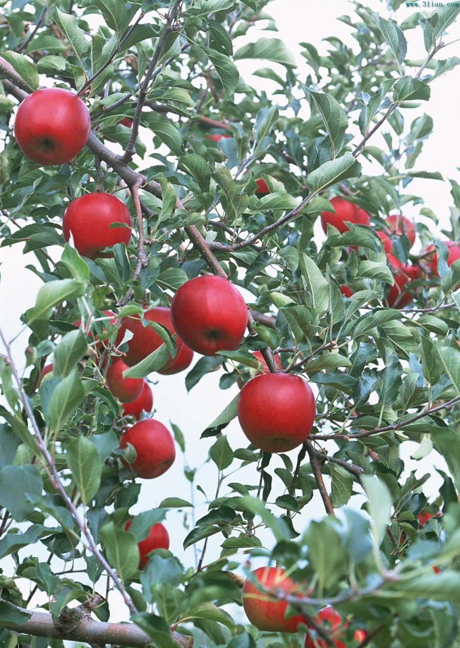 苹果树素材图片