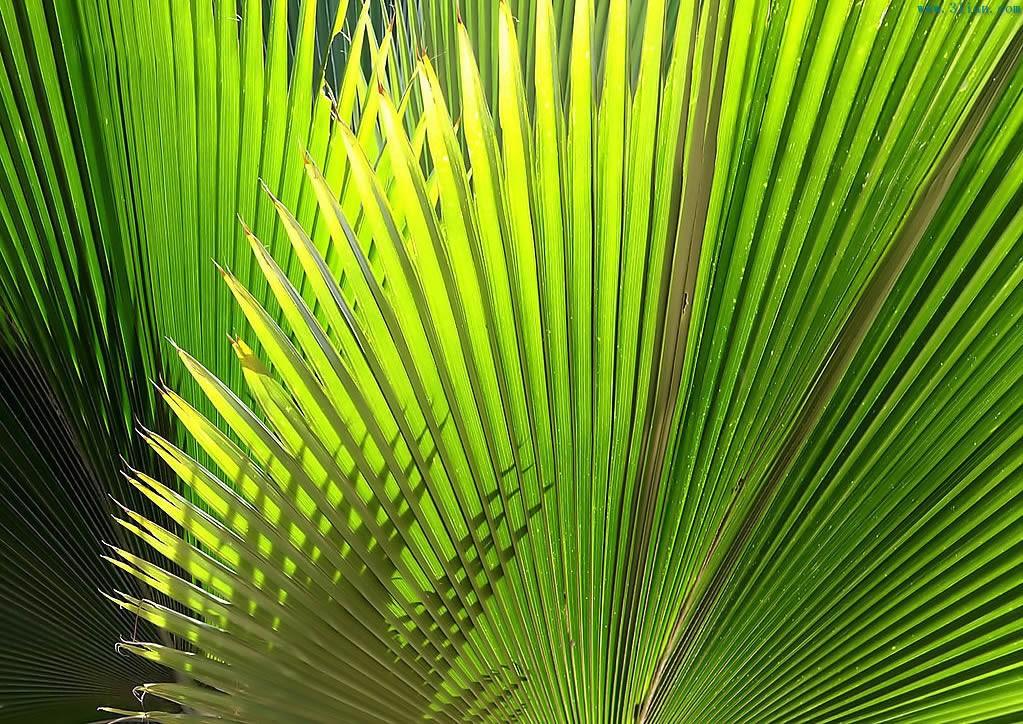 棕树叶图片