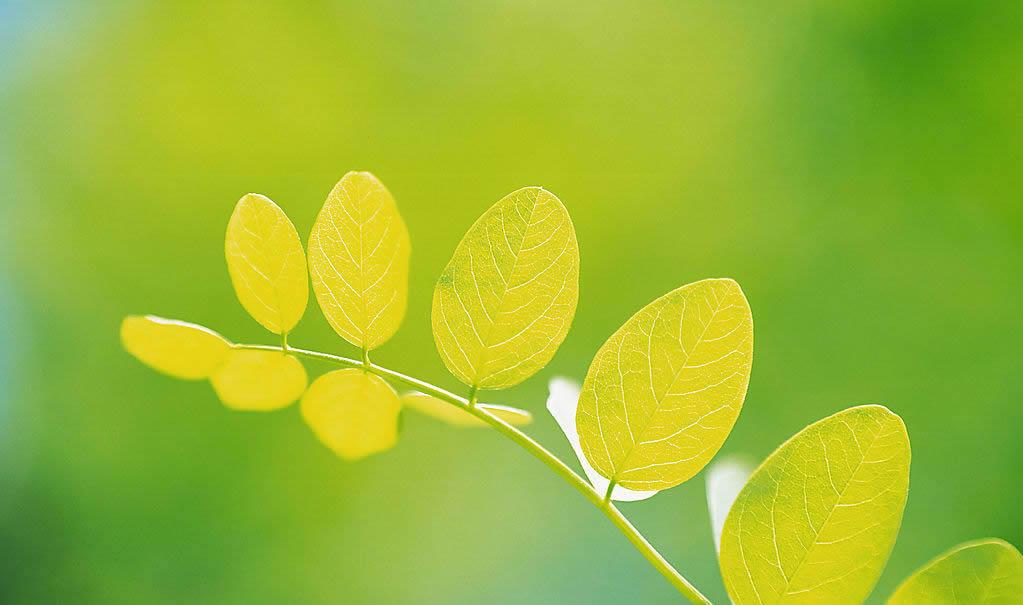 树叶素材图片