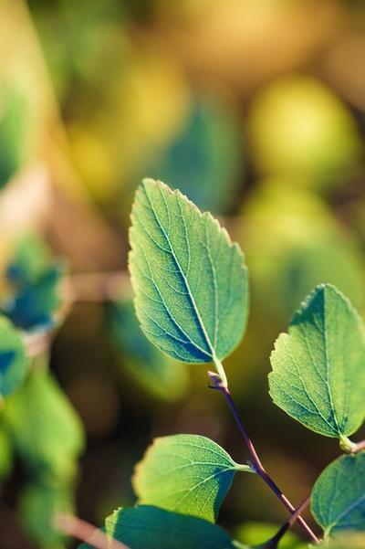清新绿色树叶护眼手机背景图片