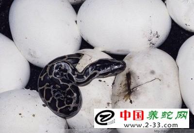 分类孵化避免幼蛇出壳后相互吞吃