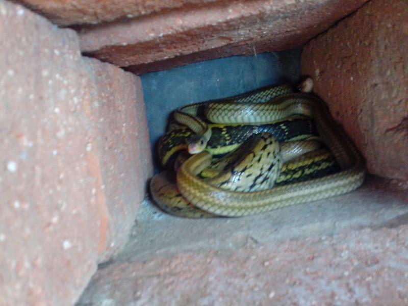 黑眉锦蛇的养殖技术