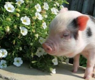 猪因营养缺乏引起的跛行、腿拐怎么治疗?