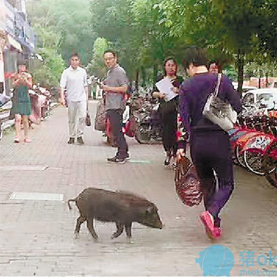杭州城西有只小黑猪在逛街 原来是从附近幼儿园溜出来的