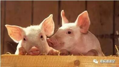 """养猪人必知的,猪断奶""""八不做""""原则!"""