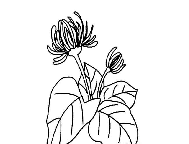 带叶子的菊花简笔画图片图片