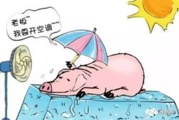 夏季养猪,如何利用好这不是瘦肉精的两样东西?