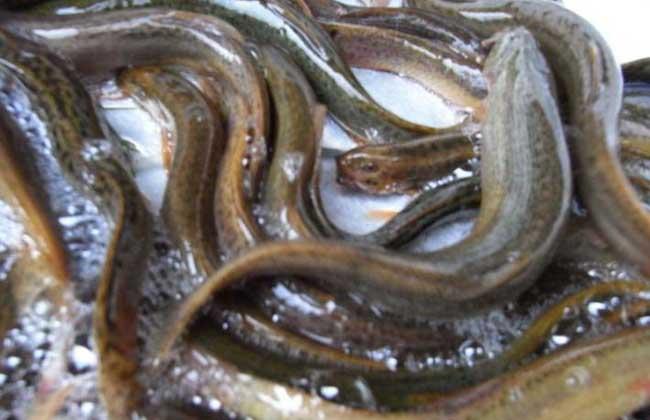 供应泥鳅,泥鳅苗,有机图片