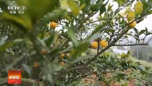 袁泽洲种脐橙凭什么卖出高价钱?